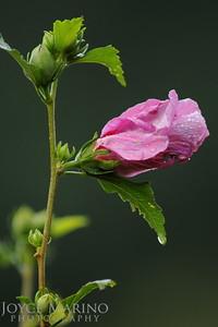 Pink Hibiscus -- DSC_9676