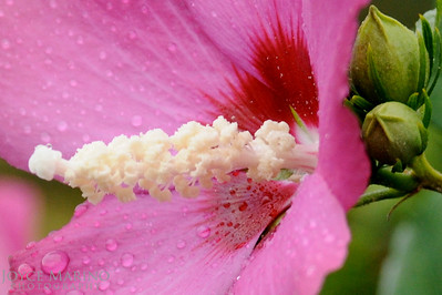 Pink Hibiscus flower with raindrops, DSC_9606