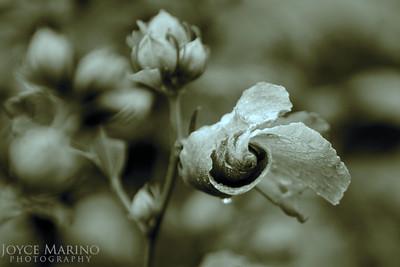 Hibiscus in sepia tone -- DSC_9693