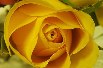 Roses(玫瑰)