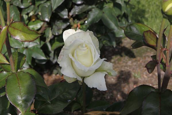 Washington Park Rose Garden 06-21-2011