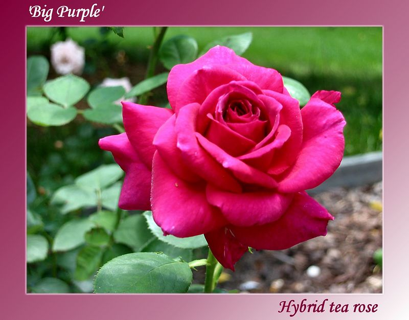 20030528 Big Purple cl [gradient bg, text]