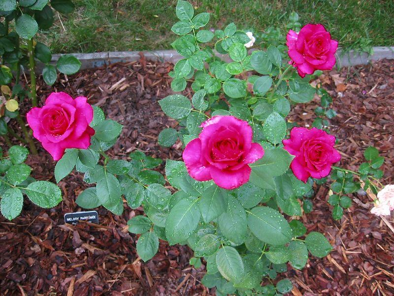 00aFavorite 20040523 4 big 'Big Purple' blooms fully open