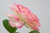 00aFavorite 08182012 'Cherry Parfait'