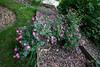 05082009 'DayDream' shrub