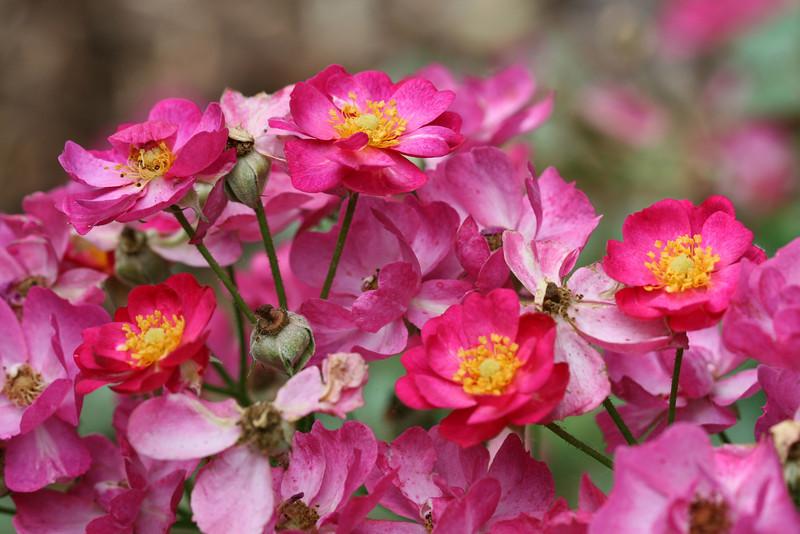 00aFavorite 05232008 'DayDream' blooms