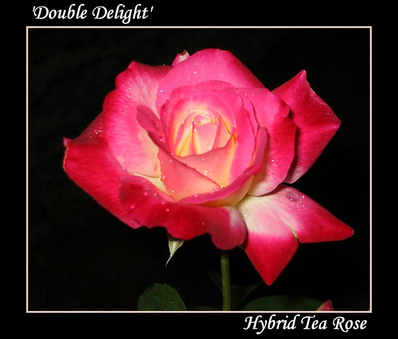 00aFavorite 20030701 Double Delight cl nt 2 [borders, text]