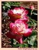 20030513 Double Delight - 2 blooms [borders, text]