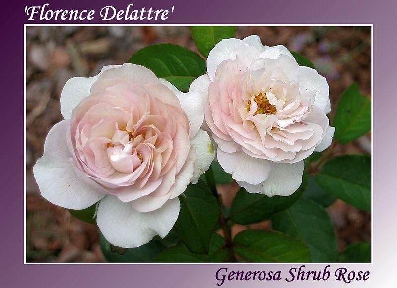 00aFavorite 20030614 Florence Delattre - 1st 2 open blooms [gradient bg, text]