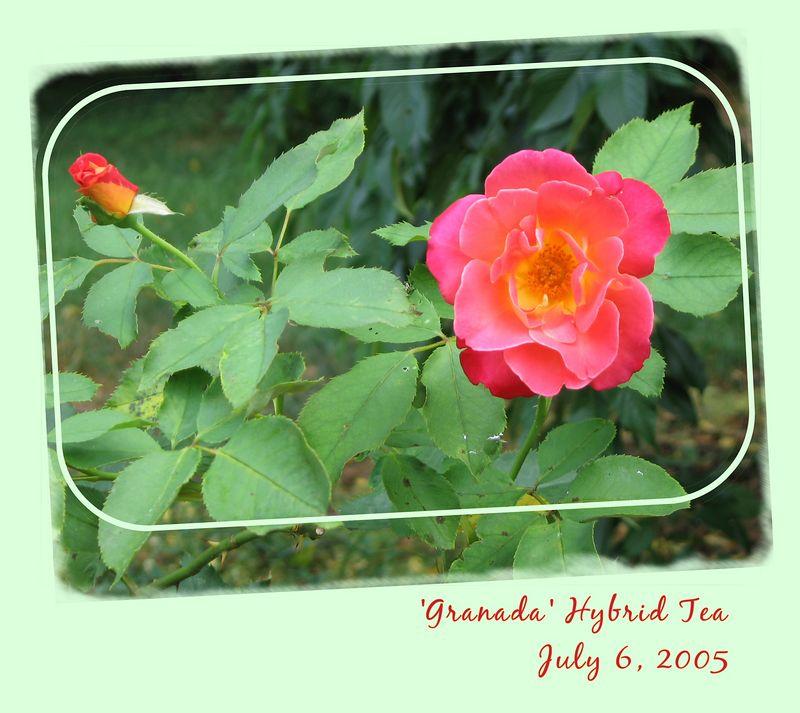 20050706 'Granada' - one bud, one blossom [borders, edge erasing, text, rounded rectangle]