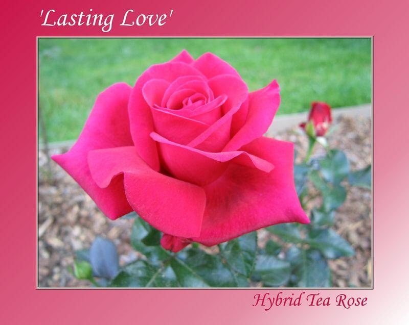 00aFavorite 20040221 'Lasting Love' hybrid tea rose - first bloom [gradient bg, text]