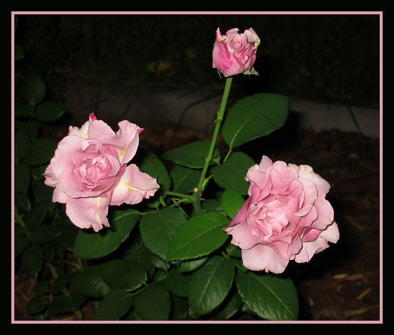 00aFavorite 20040529 Trio of 'Neptune' blooms nt [borders]