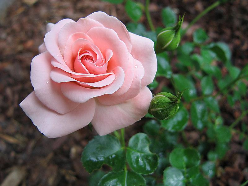 00aFavorite 20060505 'Queen Margrethe' bloom cl