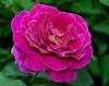 00aFavorite 05022009 'Rose de Rescht'