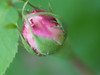 04272008 'Rose de Resht' bud