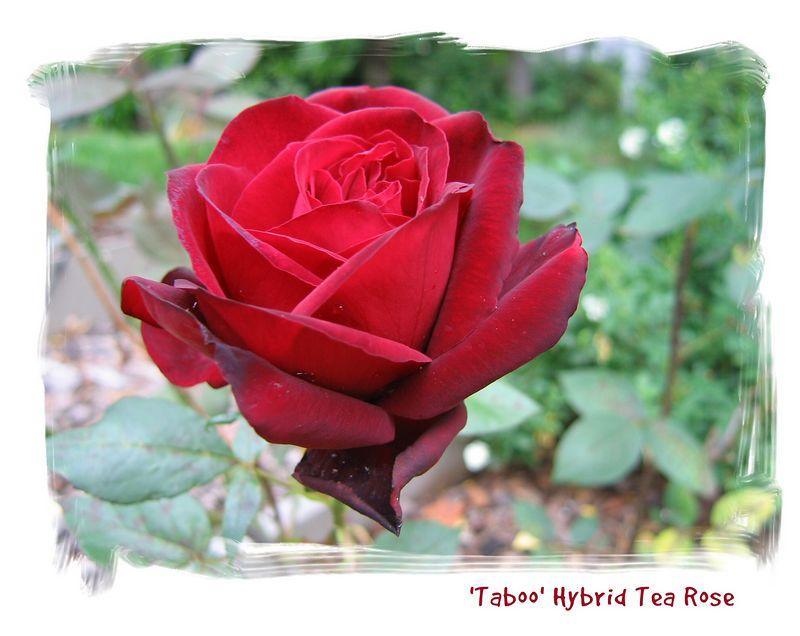 00aFavorite 20050525 'Taboo' bloom [edgebrush01 frame, borders, text]