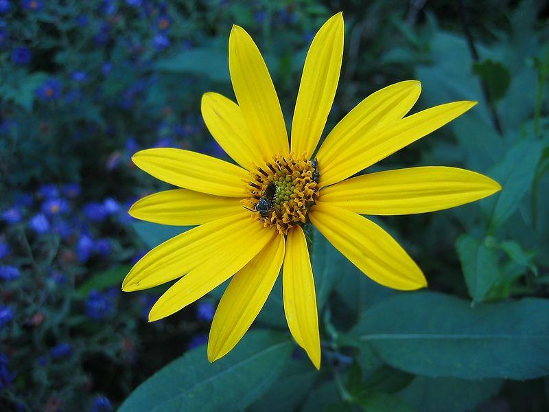 00aFavorite 13-petaled yellow flower, Chapel Hill NC Community Center Park adjacent to rose garden