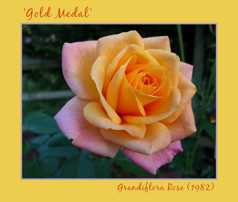 00aFavorite 'Gold Medal' grandiflora [borders, text]