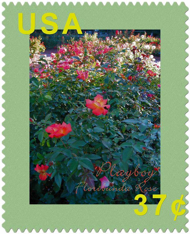'Playboy' floribunda rose [postagestamp02 script, additional text]