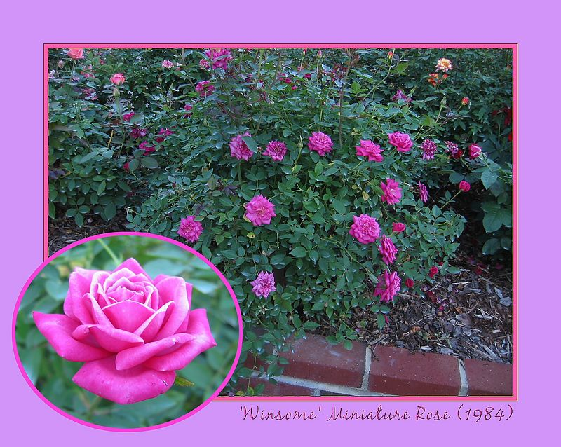 'Winsome' miniature rose [borders, text, inset picture]