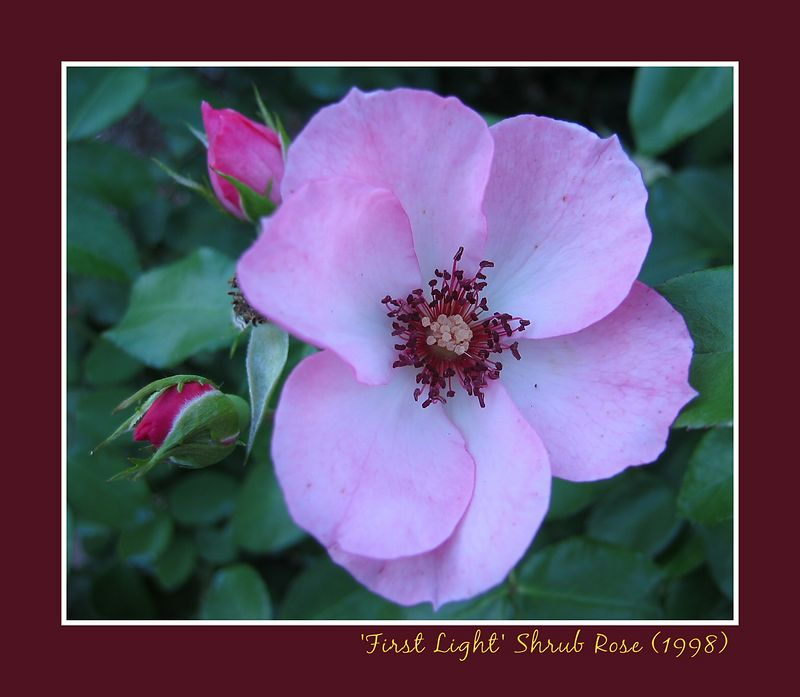 00aFavorite 'First Light' shrub rose - medium light pink, 1998 [borders, text]