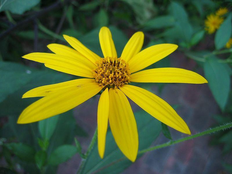 13-petaled yellow flower, Chapel Hill NC Community Center Park 2