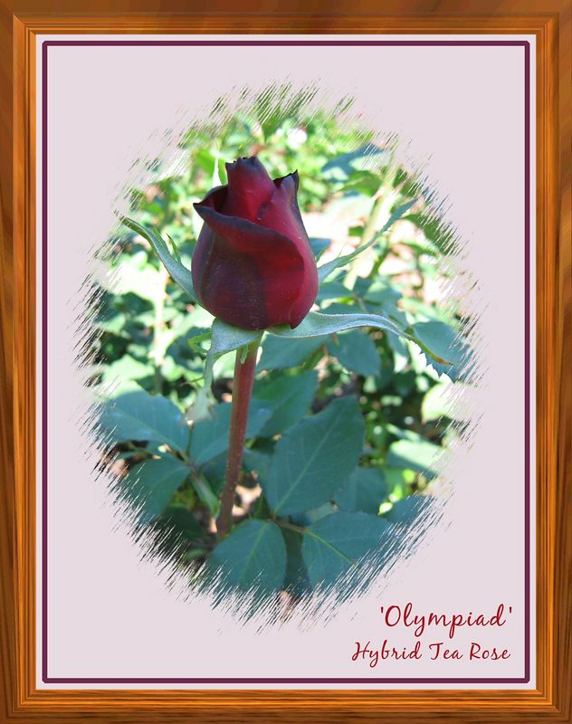 00aFavorite 'Olympiad' bud opening, CH Rose Garden [edgeround02 and teak frames, borders, text]