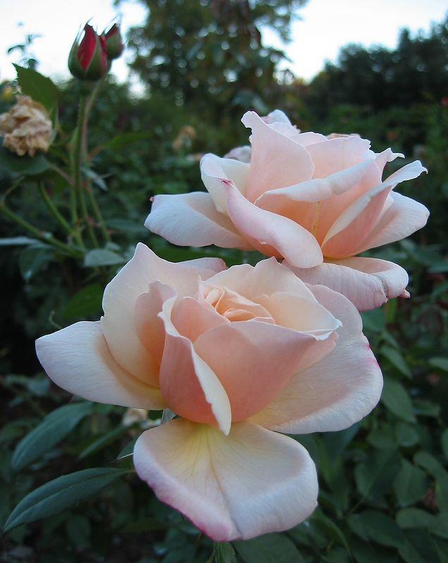 'Cherish' floribunda
