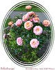 'Kaleidoscope' Grandiflora rose [Dizzy Around Frame script with caption]