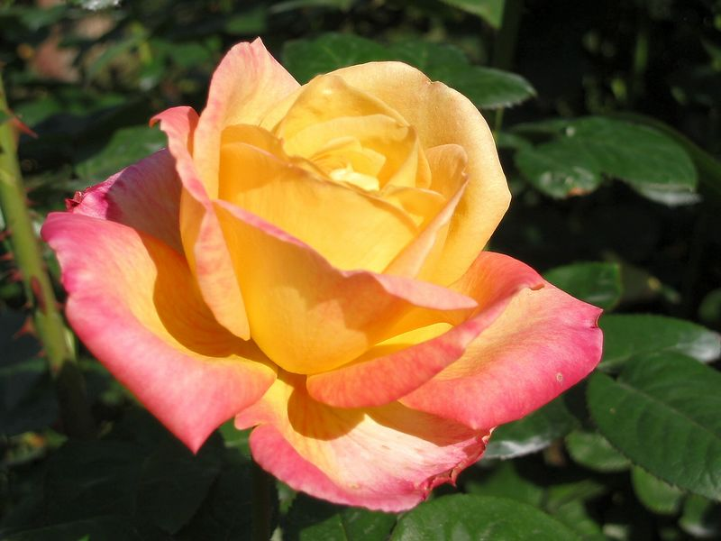 Love and Peace, 2002 hybrid tea