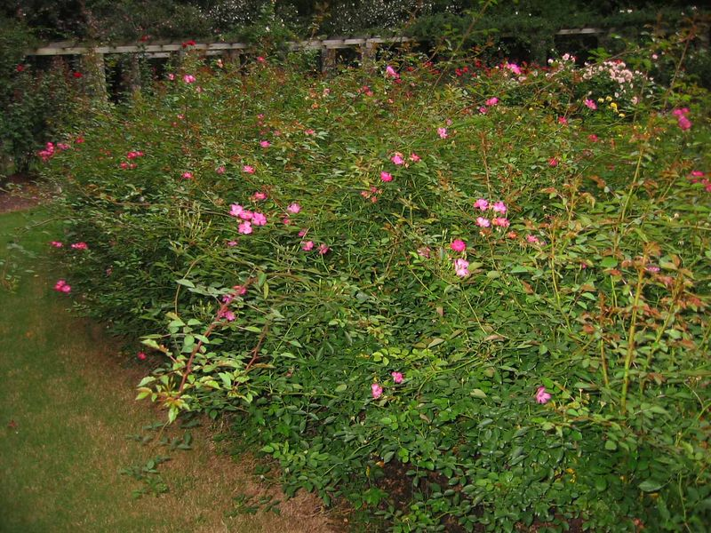 'DayDream' shrubs