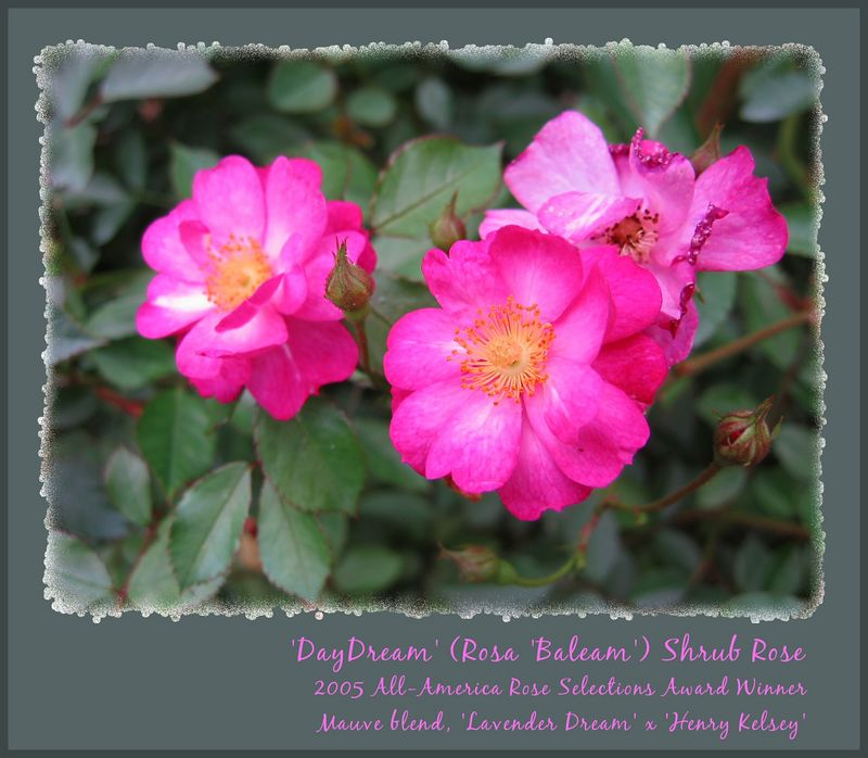 """00aFavorite 'DayDream' 200aFavorite 'DayDream' shrub rose - 2005 AARS winner [edgefade09 with borders colored, borders, text].jpg  -   I fell in love with this rose when I discovered her a few weeks ago here in the Raleigh Rose Garden.  These 'DayDream' bushes seems quite healthy with no significant disease, a fresh """"clean"""" smell, and many flowers.  I love the form and color, and think I'll buy and plant several of these shrubs at my home when available for purchase in late winter, around March 2005."""