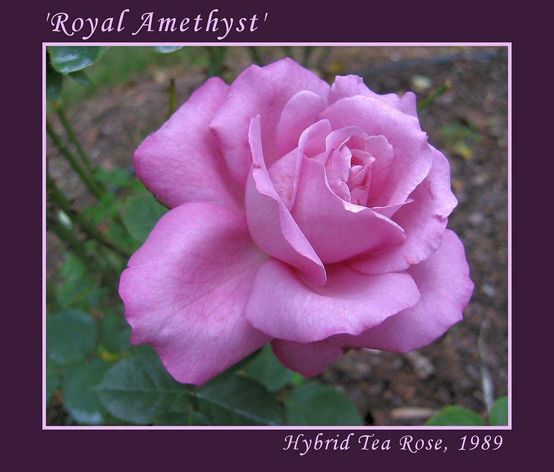 'Royal Amethyst' hybrid tea [borders, text]