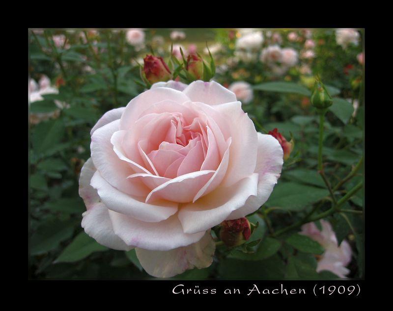 00aFavorite Gruss an Aachen, Raleigh Rose Garden, Oct04 [borders, text, edges blurred]