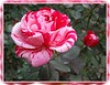 Pink-red and white hand-paint striped looking rose [borders, section copied and soft focused and blurred on edge]