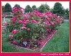 'Fame!' grandiflora rose - big bed with lots of blooms [borders, text]