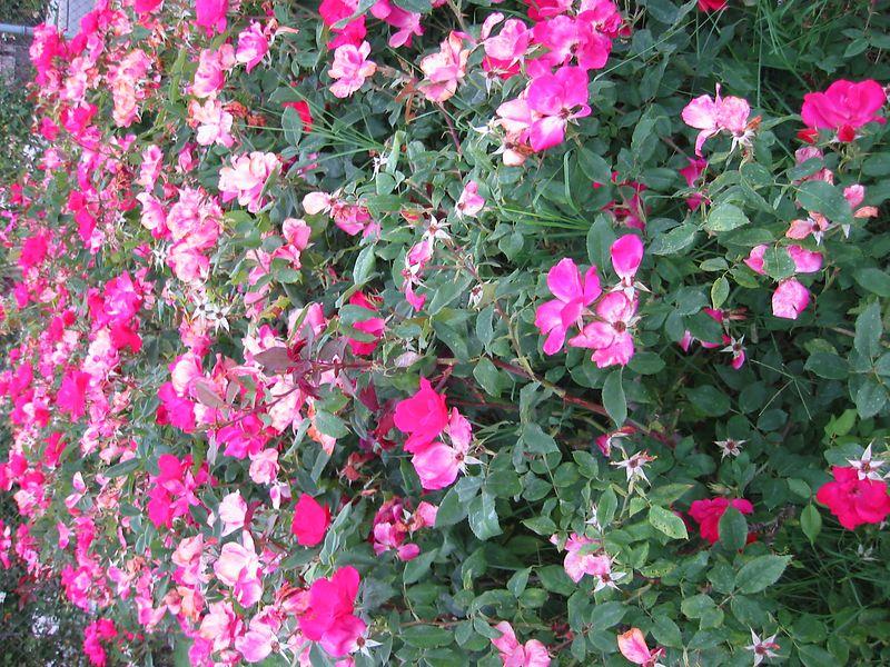 IMG_8534 (bed of Knockout landscape rose 2000)