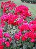 'Europeana' floribunda (1963) rose bed