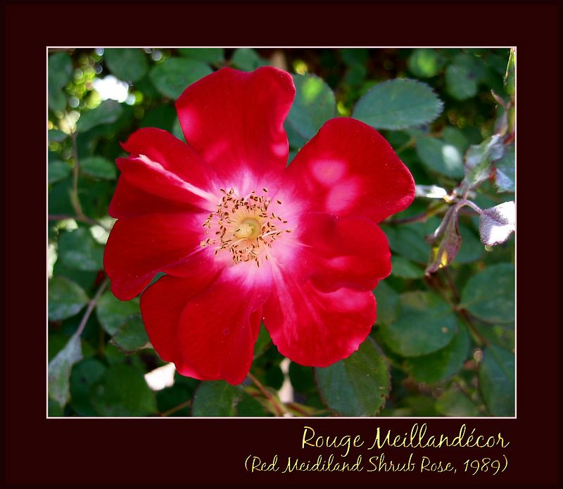 Rouge Meillandecor (Red Meidiland) shrub rose, 1989 [borders, text]