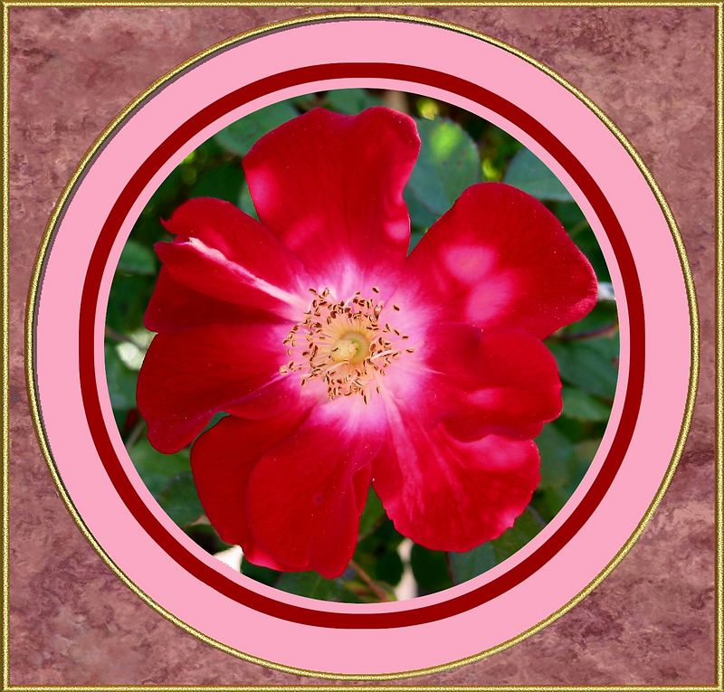 00aFavorite Rouge Meillandecor (Red Meidiland) shrub rose, 1989 [circular borders, colored x-nacre frame]