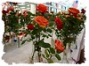 Hybrid teas at show [slightly blurry, washed-out frame]