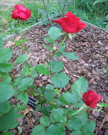 Thursday - 3 'Veterans Honor' blooms - but some blackspot on leaves