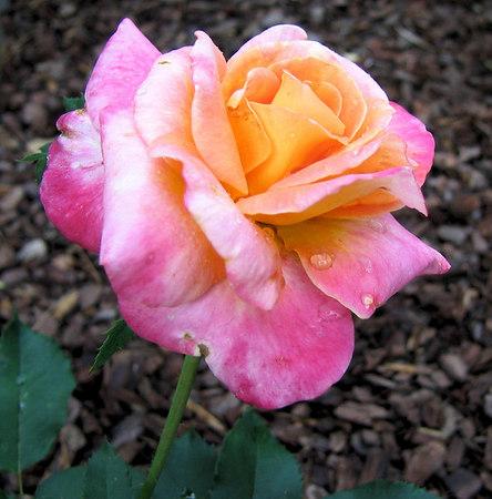 Friday - 'Granada' big bloom cl 2