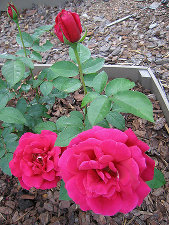 Thursday - 'Chrysler Imperial' with 2 very open blooms & two big buds-for large arrangement maybe