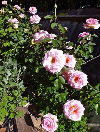 Roses Davis