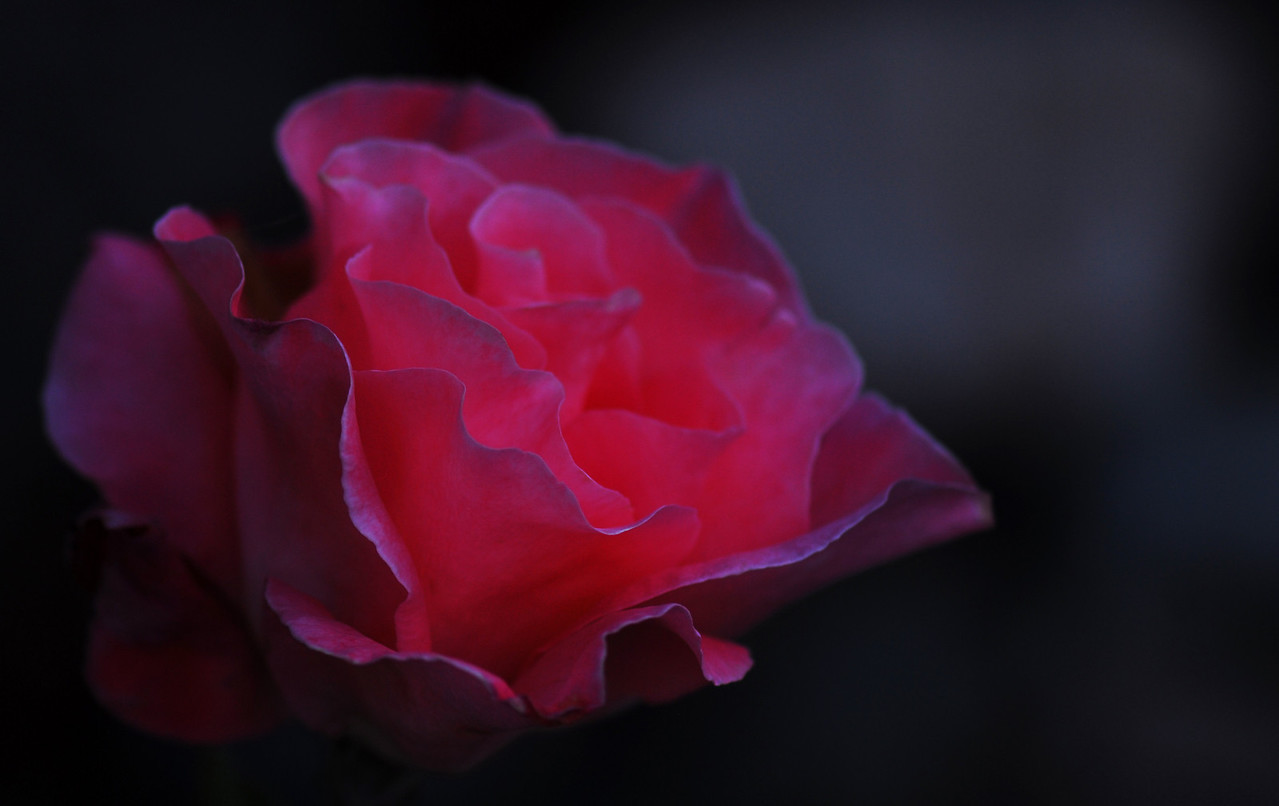 Rose - Moonglow I