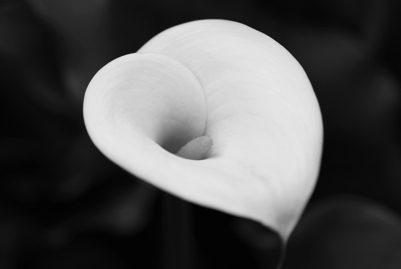 Calla Lilly - The Art of Flowers I - B&W