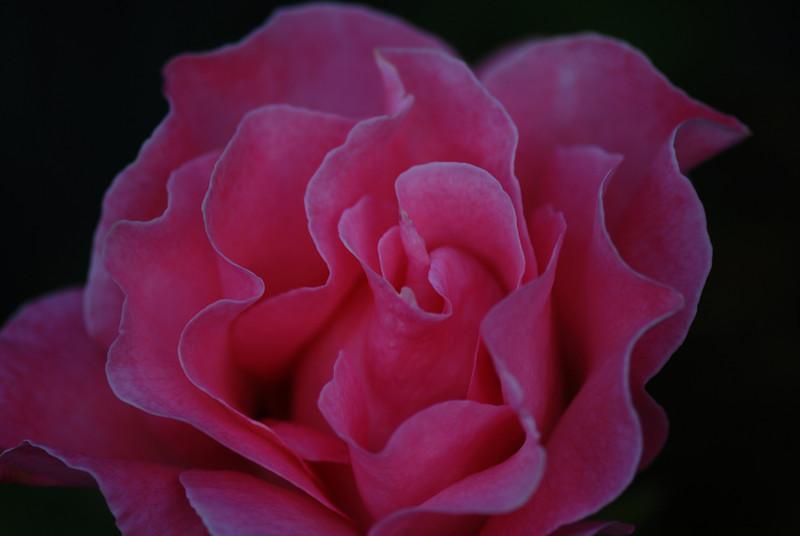 Rose - Sassy I
