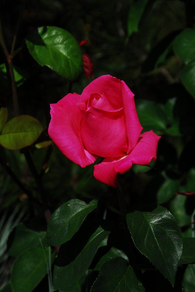 Rosebud IV