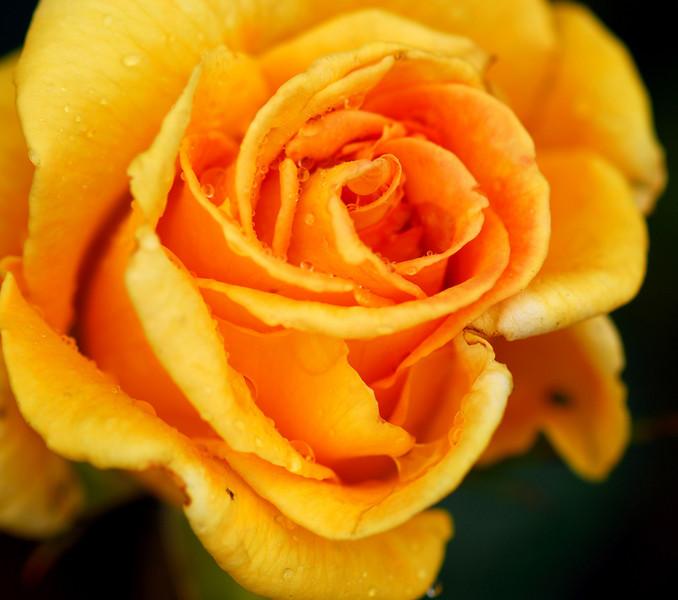 Rose - My Cuppa Tea I